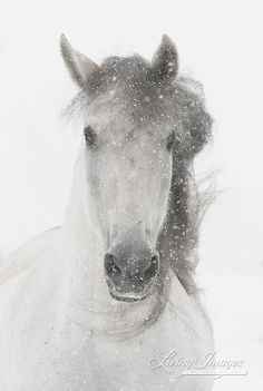 Snowy Mare  Fine Art Horse Photograph by Carol a Walker www.LivingImagesCJW.com