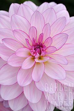 """""""Oriental Dream"""" the always stunning Dahlia...."""