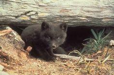 File:Fox cub cute fox animal.jpg - Wikimedia Commons