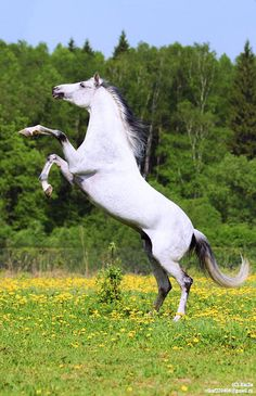 Tersk horse Первоцвет (Pervotsvet)