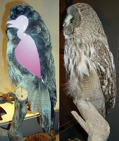 Owls are 70% feathers! http://ift.tt/2AS2fvC