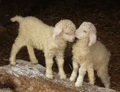 Angora kid goats, just a few days old, Exmoor, South West England Stock Photo