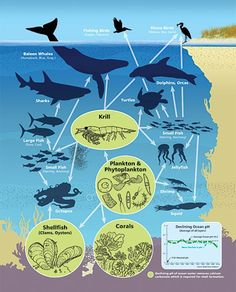 Ocean Food Web- Ocean acidification poses grave threats to Krill, plankton, shellfish and corals—the loss of which would impact nearly every ocean creature and shore bird.