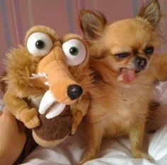 Chihuahua and Ice Age's Prehistoric Squirrel Don't laugh! Hee hee