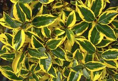 Elaeagnus x ebbingei 'Gilt Edge' This evergreen shrub is tough! Will grow well in full sun or part shade. Grows to tall and wide with green and yellow variegated foliage and a late summer flower. Garden Shrubs, Landscaping Plants, Evergreen Shrubs, Trees And Shrubs, Autumn Olive, Shrubs For Privacy, Fast Growing Shrubs, Late Summer Flowers, Coastal Gardens