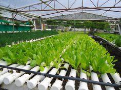 The Organic, Hydroponics Greenhouses of Boquete, Panama Indoor Hydroponic Gardening, Vertical Hydroponics, Hydroponic Lettuce, Hydroponic Farming, Hydroponic Growing, Aquaponics, Gardening Tips, Organic Hydroponics, Greenhouse Farming
