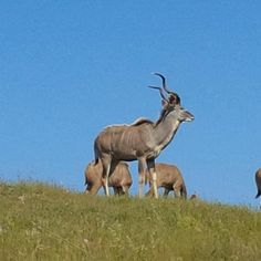 Our resident kudus enjoy the Table Mountain views. So can you! Weekends Well Spent #accommodation #cottages #winelands #vineyard #relax #weekend #getaway