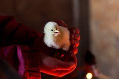 Preparing for New Baby Chicks  http://www.theprairiehomestead.com/2017/02/preparing-new-baby-chicks.html