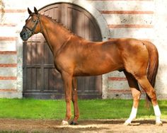 Trakehner - stallion Laurel. Can I please have this horse. Please. Perfect conformation, chestnut, huge. Really.