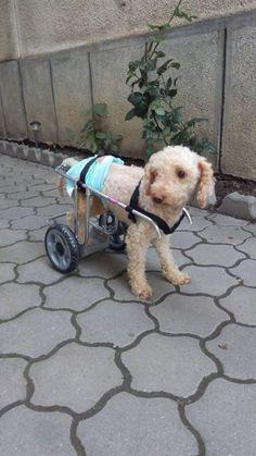 Proteze si Carucioare Veterinare   Galerie Imagini Dogs, Animals, Animales, Animaux, Pet Dogs, Doggies, Animal, Animais