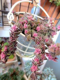 succulent☆