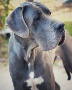 Jason Is An Adoptable Greatdane Dog In Jacksonville