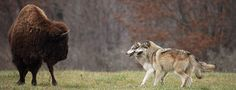 Wolf Park, in Battleground, IN, is a great place to learn about and interact with wolves, foxes, coyotes, and bison. Interacting with a wolf or wolf pack up close and personal is a humbling and spectacular experience!