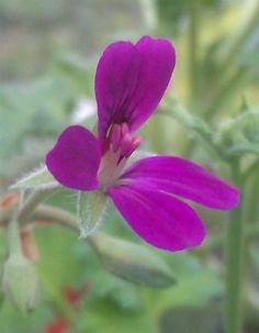 Pelargonium Deerwood Lavender lad - Lavender Scented Leaves http://shop.whitecottagedaylilies.com/products/103466--pelargonium-deerwood-lavender-lad.aspx