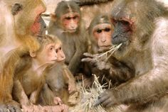 Old World Monkeys; aside from humans, they are the most widespread primate genus, range from Japan to Afghanistan; Primates, Mammals, New World Monkey, Funny Animal Photos, Animal Memes, Funny Animals, Animal Protection, Monkey Business, Orangutan