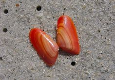 the rarest coquinas are the orange, actually rarest of all types of shells, I think? love them!