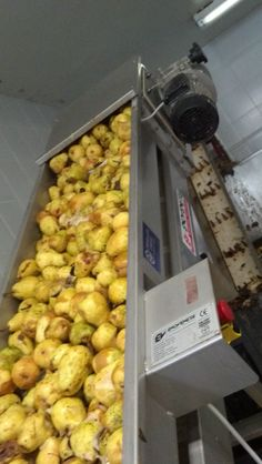 Pears going verticle to processor where they will be processed for pressing