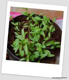 Urban Edens: Growing Coriander/Cilantro/Dhaniya