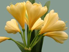 Tulip shaped and greenish Clivias