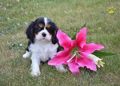 #CavalierKingCharlesSpaniel #PuppyLove #MansBestFriend #NewBestFriend #BuckeyePuppies www.BuckeyePuppies.com