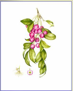 Image result for lilly pilly illustration
