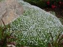 Isotoma smothers out the weeds and makes an excellent lawn substitute