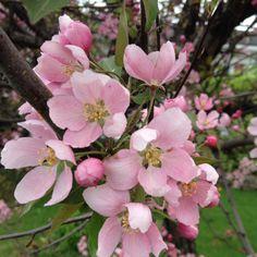 Le beau rose que voilà Rose, Flowers, Plants, Beauty, Pink, Roses, Flora, Plant, Royal Icing Flowers