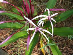 Spider Lily - tropical garden wishlist
