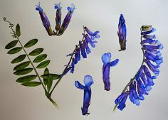 Watercolors by Krzysztof Kowalski: Botanical painting - Vicia cracca