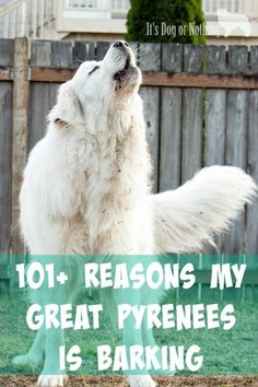 Dog Training Chewing Great Pyrenees bark a lot - we all know that. I thought I'd compile a list of all the reasons my Great Pyrenees have barked. What has caused your pyr to bark? Pyrenees Puppies, Great Pyrenees Puppy, Dogs And Puppies, Doggies, Big Dogs, Cute Dogs, Giant Dogs, Awesome Dogs, Farm Dogs