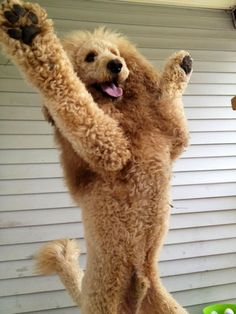 This standard poodle with her soft white afro looks like an Italian socialite welcoming her guests to the villa. Description from pinterest.com. I searched for this on bing.com/images