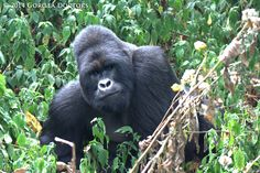 Silverback Nyakamwe in Virunga National Park, DRC Primates, Volcano National Park, National Parks, Gorillas In The Wild, Dian Fossey, Silverback Gorilla, Mountain Gorilla, Paws And Claws, Animals