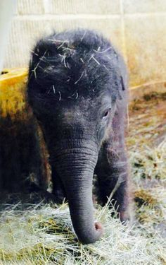 New-born elephant baby. Please send him some love ♥ New-born elephant baby. Please send him some lov Cute Creatures, Beautiful Creatures, Animals Beautiful, Majestic Animals, Cute Baby Animals, Animals And Pets, Funny Animals, Wild Animals, Animal Pictures