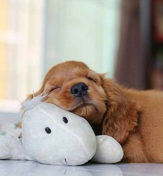 Cute Baby Dogs, Cute Dogs And Puppies, Cute Baby Animals, Funny Animals, Doggies, American Cocker Spaniel, Cocker Spaniel Dog, Cockerspaniel, Cute Animal Pictures