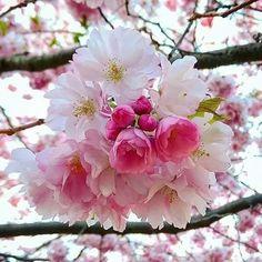I love flowers and roses group Flora Flowers, Flowers Nature, Blooming Trees, Flowering Trees, Amazing Flowers, Beautiful Flowers, Sakura Cherry Blossom, Cherry Blossoms, Blossom Trees