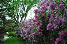 Garden With Purple Lilac Flowers : Stunning Purple Flower Gardens Lilac Tree, Lilac Flowers, Purple Lilac, Flower Colors, Purple Colors, Flower Garden Design, Love Garden, Lilac Bushes, Terra