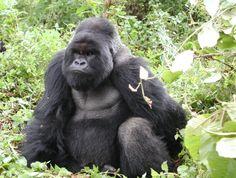 Take Action - Silverback Gorilla - The Dian Fossey Gorilla Fund International