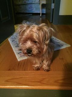 Rilee Yorkies, Dogs, Animals, Animales, Animaux, Pet Dogs, Yorkshire Terriers, Doggies, Yorkshire