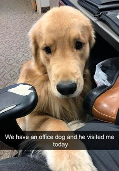 Funny Snapchats Dog Photo – 190 Pics #funnydogs #goldenretriever