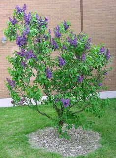 Persian Lilac. 6 x 4.  A graceful arching flowering shrub. The pale violet to lavender flowers of the Persian Lilac shrubs are very fragrant. The 2 to 3 inch long blooms appear in late spring and bloom abundantly into early summer, attracting bees, butterflies and birds. The rounded and low mature shrub form makes the Persian lilac a perfect plant to be used in a foundation planting or as a border plant.