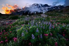 Wild flowers on Mt. Rainier - Mountain Garden by Deej6, via Flickr