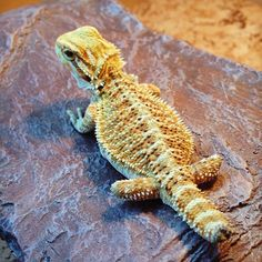 Can Baby Bearded Dragons Eat Vegetables
