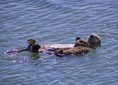 Sea otter mum and pup float together peacefully - April 21, 2013