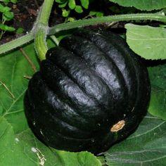 A rare black Japanese squash