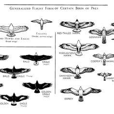 Flight Form of Certain Birds of Prey #bird #raptor #birding
