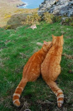 We Three Ginger cats tales Orange tabby cats - Orange Cat - Ideas of Orange Cat - We Three Ginger cats tales Orange tabby cats The post We Three Ginger cats tales Orange tabby cats appeared first on Cat Gig. Pretty Cats, Beautiful Cats, Cute Cats, Animals Beautiful, Gato Animal, Cat Couple, Orange Tabby Cats, Cat Aesthetic, Ginger Cats