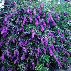 Butterfly Bush Black Night, Buddleia davidii - Spring Perennials from American Meadows - 26 Hydrangea Paniculata, Garden Shrubs, Shade Garden, Garden Plants, Flower Gardening, Container Gardening, Box Garden, Flowering Shrubs, Flowers Garden