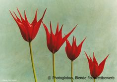 © Photoglobus, Blende Fotowettbewerb, Skurile Tulpen