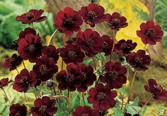 Chocolate cosmos ~ once native to Mexico, now extinct in the wild.  It actually does smell like vanilla chocolate.
