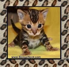 Image result for kittens for sale